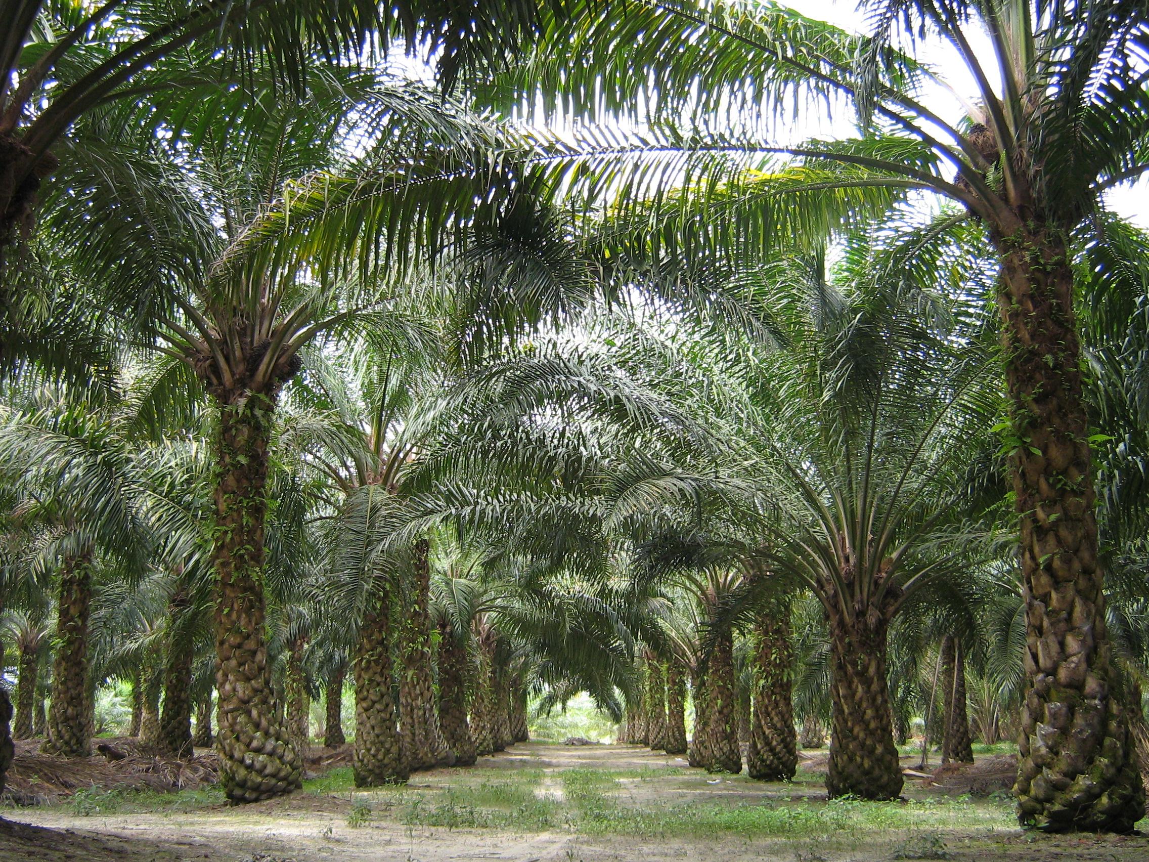 aceite palma malasia